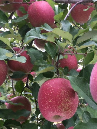 102 Apple Picking Yaita October 2015